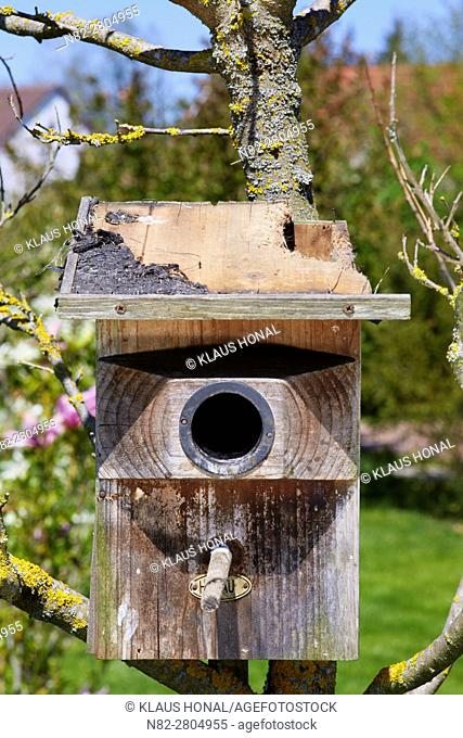 Starling nest box (Sturnus vulgaris) was looted at night by a Stone Marten or Beech Marten (Martes foina). The marten has eaten a hole into the roof and then...