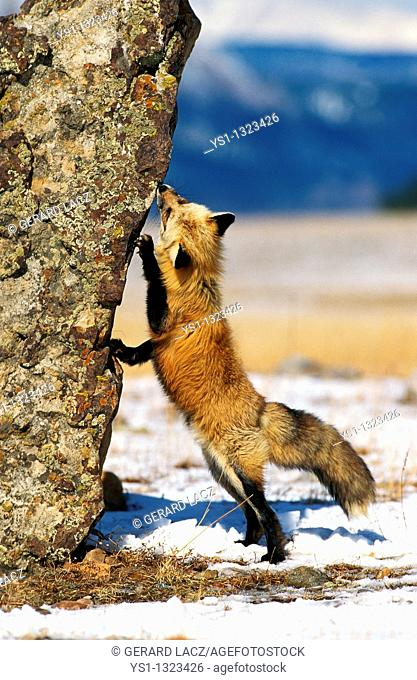 RED FOX vulpes vulpes, ADULT STANDING ON HIND LEGS, CANADA