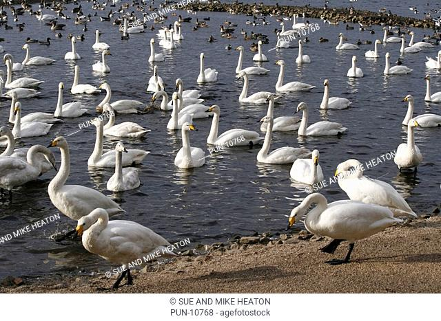 Massed swans and other wildfowl overwintering at Martin Mere Wildfowl and Wetlands Trust in Lancashire