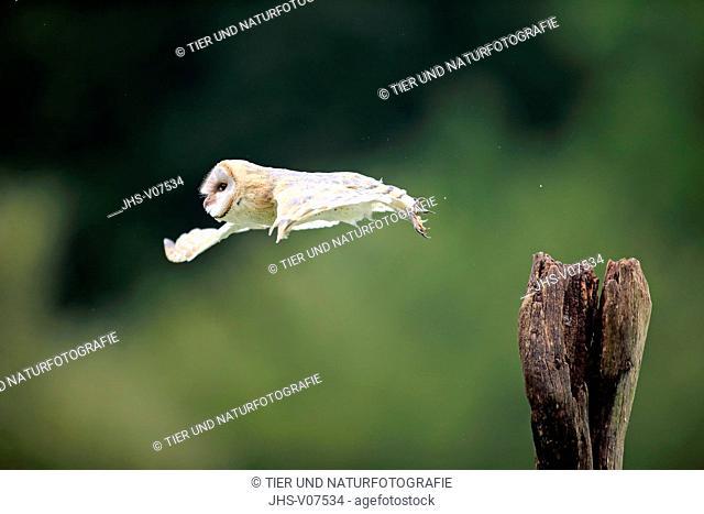 Barn Owl, (Tyto alba), adult on branch starts flying, Eifel, Germany, Europe