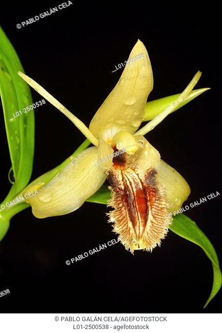 Close up of Ovalis Orchid (Coelogyne fimbriata)