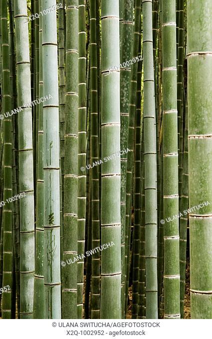 Bamboo grove in Arashiyama Japan