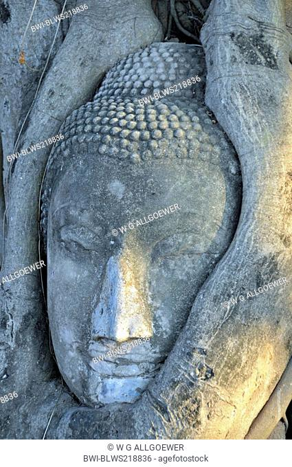 bo tree Ficus religiosa, sandstone head of a buddha statue between roots of a fig tree, Thailand, Ayutthaya, Wat Mahathat