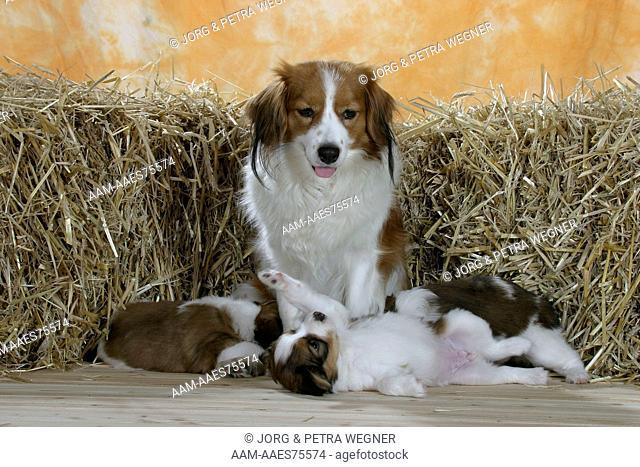 Kooikerhondjes, female with puppies, 5 weeks playful