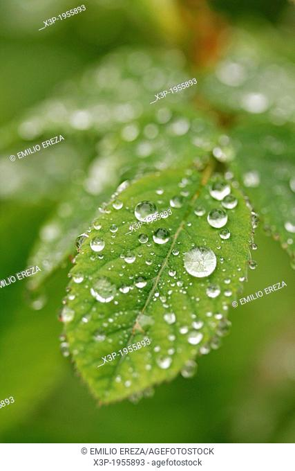 Droplets on leaf of rose