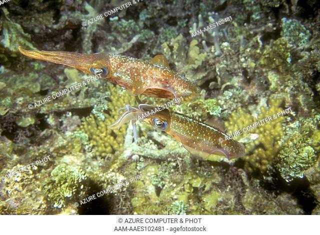 Reef Squid Pair (Sepioteuthis sepioidea) Roatan, Honduras