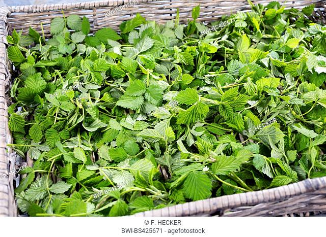 European red raspberry (Rubus idaeus), collected, young raspberry leaves in a basket