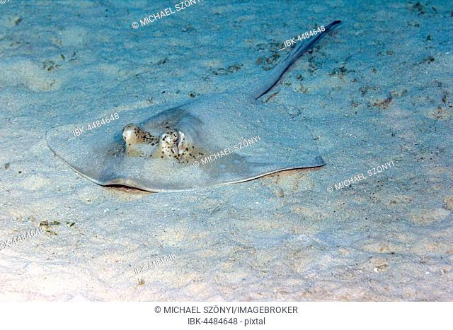Blue spotted stingray (Neotrygon kuhlii), Great Barrier Reef, Queensland, Australia
