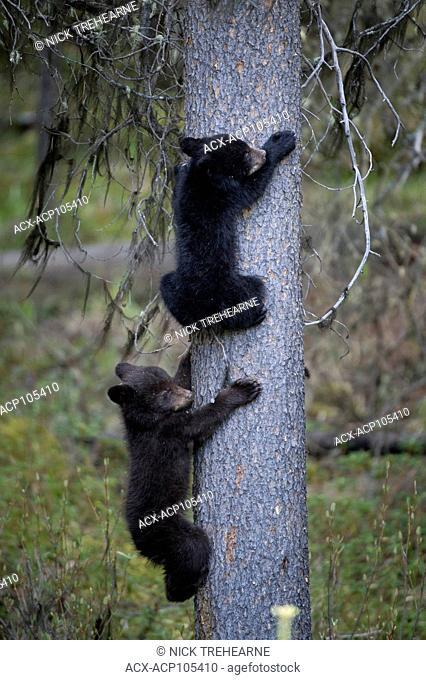 Black Bear, Ursus americanus Cubs, climbing a tree Alberta, Canada