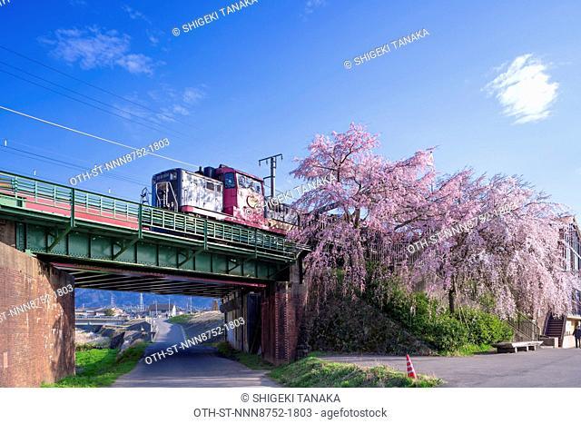 The Sagano Romantic Train passing the cherry trees in bloom at Kameoka station, Kyoto, Japan