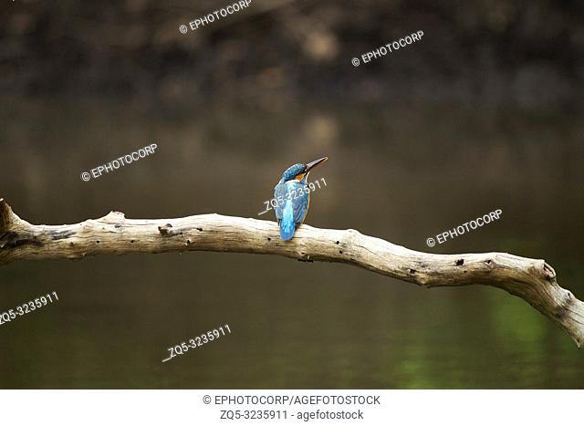 Common kingfisher, Alcedo atthis sitting on a branch, Maharashtra, India