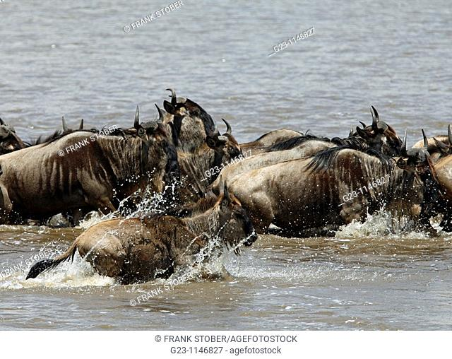 Wildebeest Rivercrossing