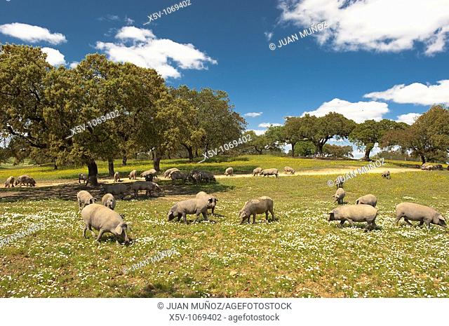 Iberian pig in the meadow of oaks. Huelva. Andalucia. Spain