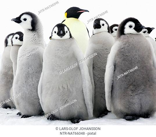 Empereor penguins young birds the Antarctic
