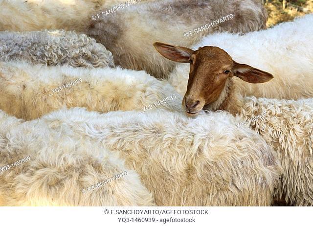 Sheep in a country fair