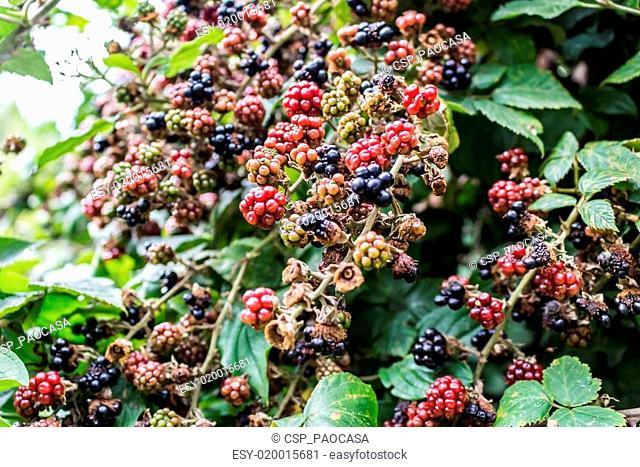 Red and black blackberries