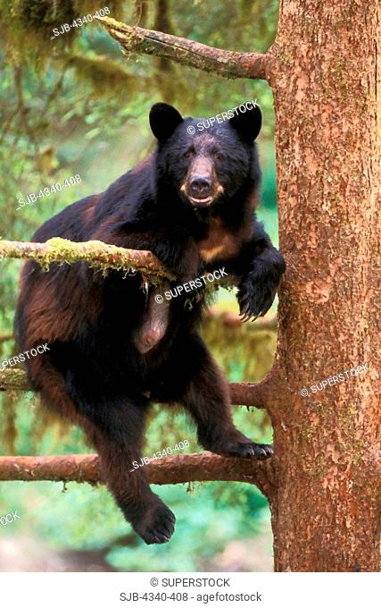 Black Bear Sow Up a Tree