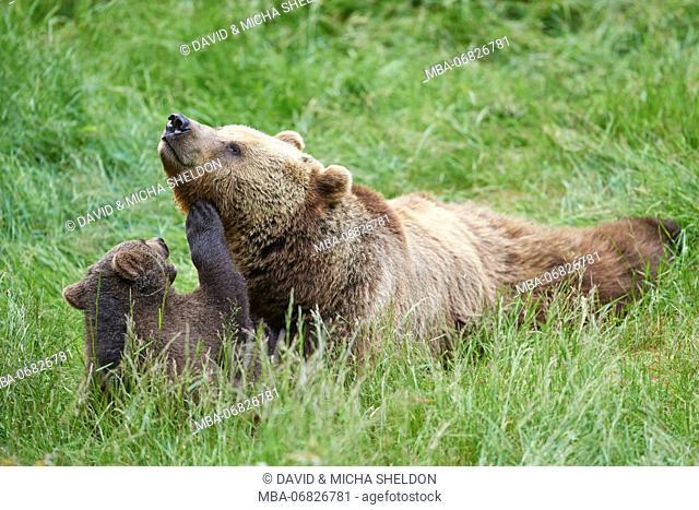 European brown bears, Ursus arctos arctos, mother animal, young animal, wilderness, meadow, play