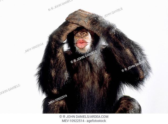 Chimpanzee - see no evil. (Pan troglodytes)