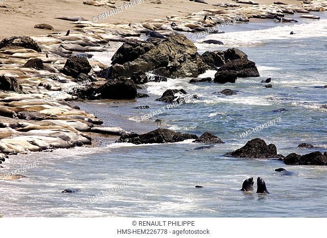 United States, California, California Scenic Highway 1, Piedras Blancas elephant seals colony