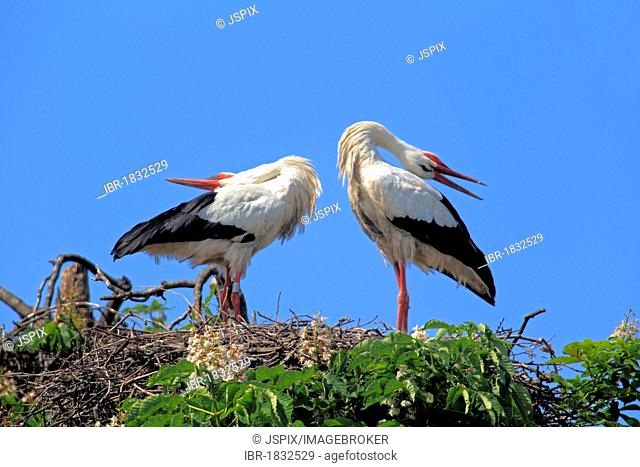 White Storks (Ciconia ciconia), pair in nest in chestnut tree, Mannheim, Baden-Wuerttemberg, Germany, Europe