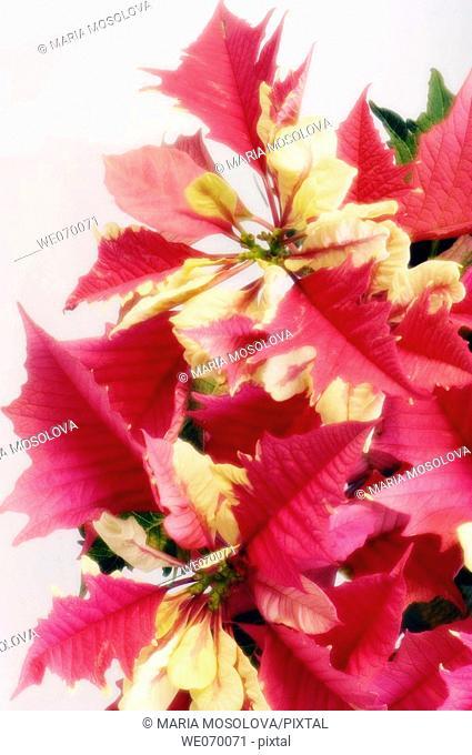 Poinsettia. Euphorbia pulcherrima. December 2006, Maryland, USA