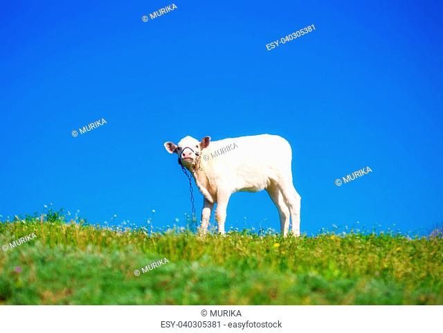 Cute calf on a summer meadow