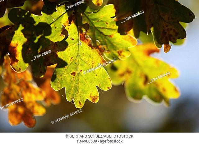 Blätter der Stieleiche im Herbst, Quercus robur, Schleswig-Holstein, Deutschland , Leaves of Pendunculate Oak Tree in Autumn, Schleswig-Holstein, Germany