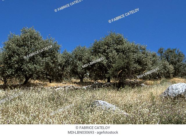 Olive trees on the Mount Barouk