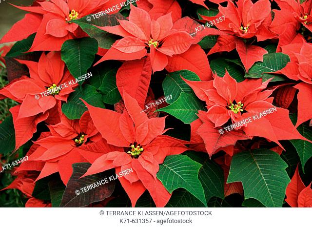 Bright red poinsettias in the indoor Conservatory garden during the Christmas season in Winnipeg, Manitoba Canada