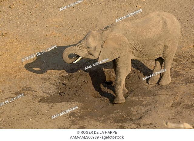 Elephant (Loxodonta africana) drinking from holes it dug in a dry river bed. Northern Tuli Game Reserve. Botswana