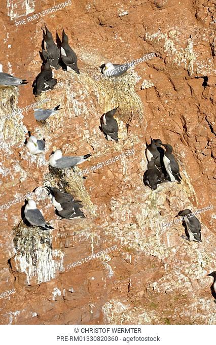 Common Guillemot Uria aalge and Black-legged Kittiwake Rissa tridactyla, breeding rock, Helgoland, Schleswig-Holstein, Germany / Trottellumme Uria aalge und...