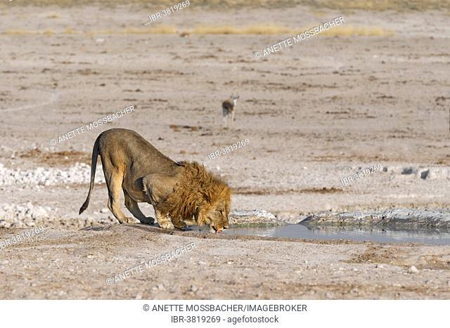 African Lion (Panthera Leo), drinking, Nebrownii waterhole, Etosha National Park, Namibia