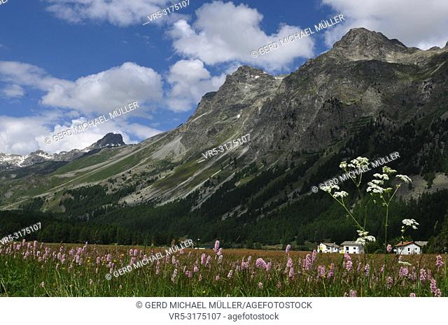 "Swiss alps: The flora around the glacier-lake """"Silsersee"""" in the upper Engadin"