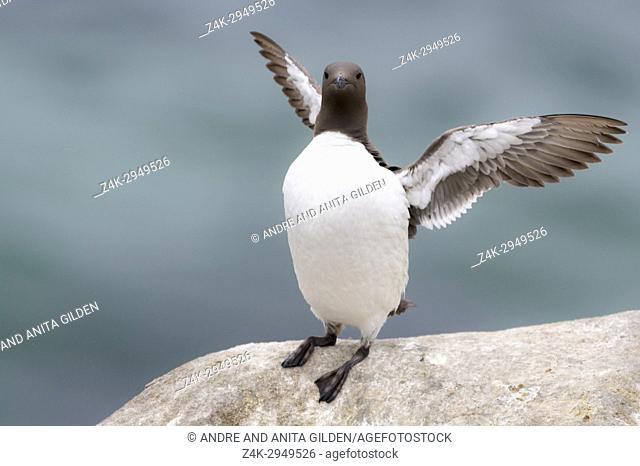 Common Guillemot (Uria aalge) adult, standing on rock, flapping wings, Great Saltee, Saltee Islands, Ireland