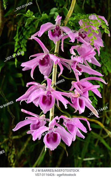 Mexican laelia (Laelia anceps) is an orchid native to Mexico