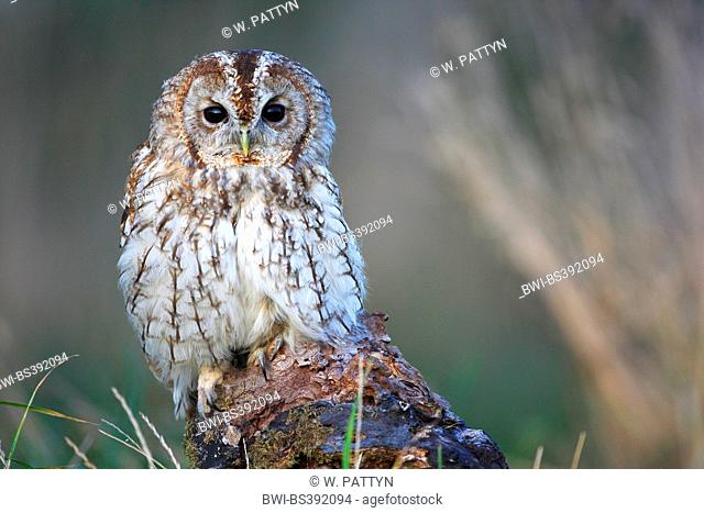 Eurasian tawny owl (Strix aluco), sitting on a tree snag at the forest edge in the evening light, Belgium