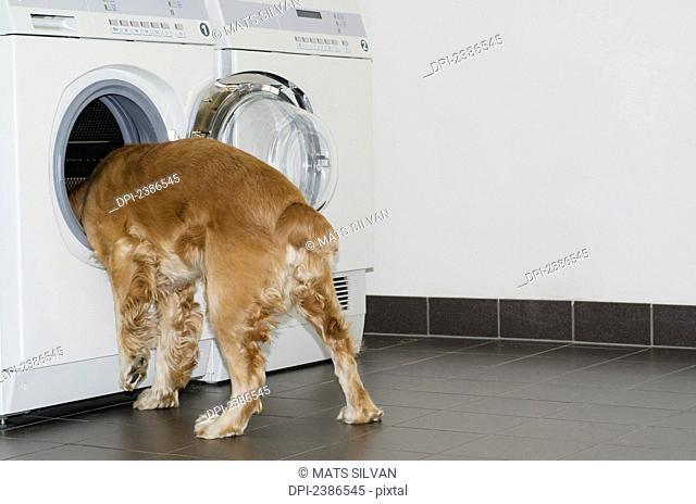 A dog sticks his head into the washing machine; Locarno, Ticino, Switzerland