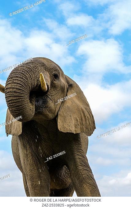 African bush elephant (Loxodonta africana) drinking, showing how they utilise their trunks. Mashatu Game Reserve. Northern Tuli Game Reserve. Botswana