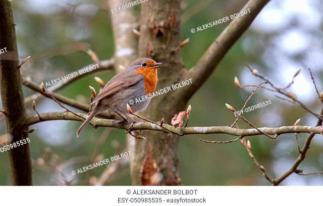 European robin (Erithacus rubecula) sitting on branch in spring, Podlasie Region, Poland