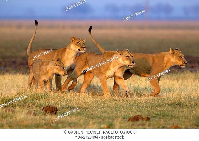 African lions (Panthera leo), Savuti, Chobe National Park, Botswana