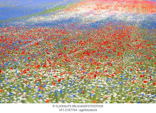 Europe, Italy,Umbria,Perugia district,Castelluccio of Norcia. Flower period