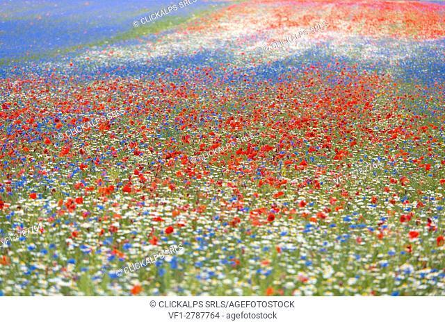 Europe, Italy,Umbria,Perugia district,Castelluccio of Norcia. Flower period