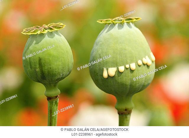 Frutos de Papaver somniferum (amapola del opio) con incisiones por las que sale el latex portador de alcaloides