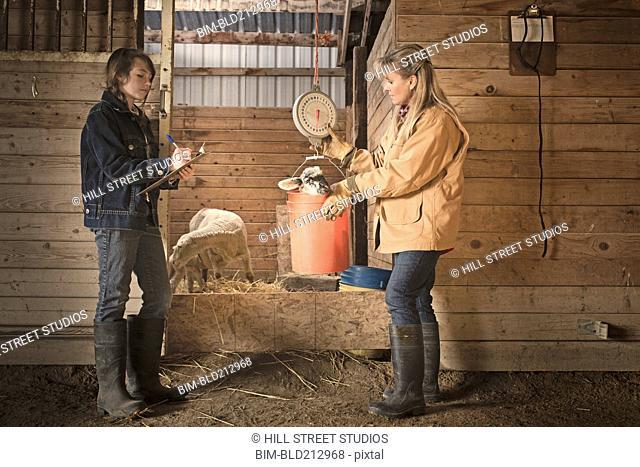 Farmer and daughter weighing lamb in barn