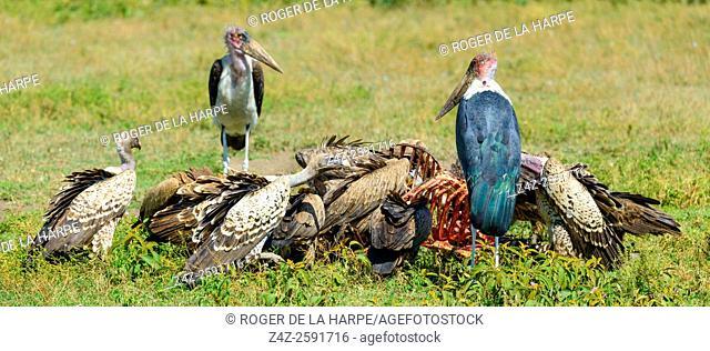 Rüppell's vulture or Rüppell's griffon vulture (Gyps rueppellii), marabou stork (Leptoptilos crumenifer) and African white-backed vulture or white-backed...