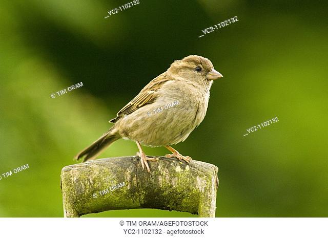 A close up bird portrait of a female house sparrow passer domesticus