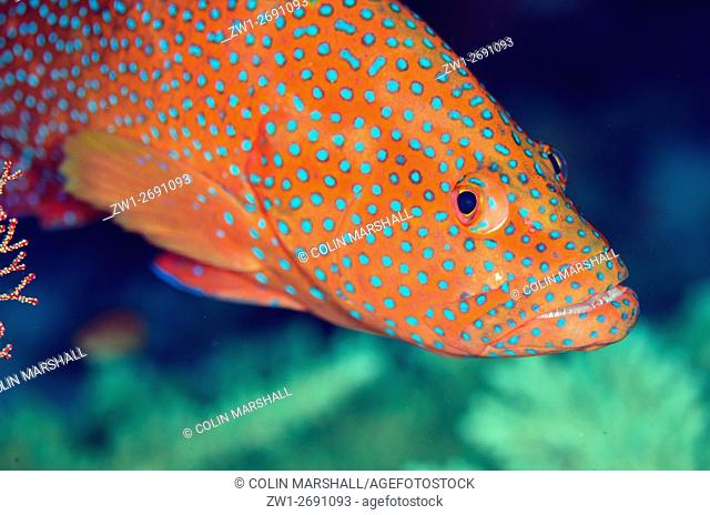 Coral Grouper (Cephalopholis miniata), Boo Rocks dive site, Boo Island, Misool, Raja Ampat (4 Kings), West Papua, Indonesia