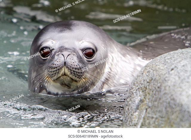 Weddell seal Leptonychotes weddellii pup on Weinke Island near the Antarctic Peninsula, Southern Ocean MORE INFO This is the most southerly breeding seal in the...