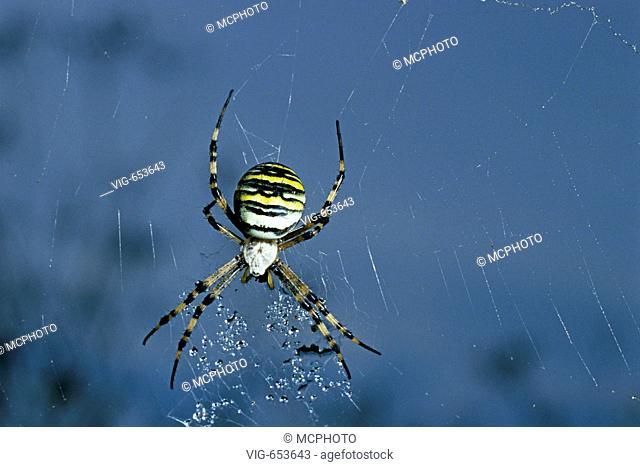 Wespenspinne, Zebraspinne (Argiope bruennichi) Black-and-Yellow Garden Spider ° Ries, Bayern, Landkreis Donau-Ries, Deutschland - Ries, Bayern / Bavaria